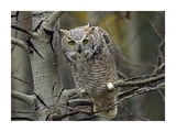Great Horned Owl pale form  Kootenays  British Columbia  Canada