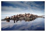Steller's Sea Lion group hauled out on coastal rocks  Brothers Island  Alaska