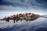 Steller's Sea Lion group hauled out on coastal rocks, Brothers Island, Alaska Impression sur toile par Tim Fitzharris