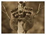 Raccoon two babies climbing tree  North America - Sepia