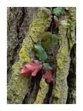 Poison Oak on Monterey Pine bark  Pt Lobos  California