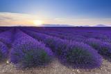 Lavender Field in Bloom at Sunrise