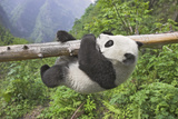 Giant Panda Cub Hanging from Tree Trunk