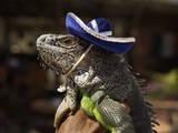 Iguana Wearing a Sombrero in Cabo San Lucas