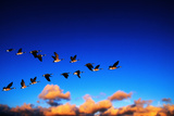 Canada Geese Flying at Sunrise