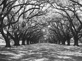 Arched Path of Trees on Plantation Site