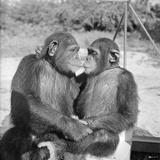 Two Chimpanzees Hugging