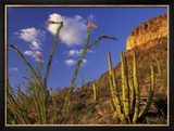 Organ Pipe Cactus with Ocotillo  Organ Pipe Cactus National Monument  Arizona  USA