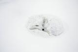 Arctic Fox Curled Up  Churchill Wildlife Area  Manitoba  Canada