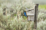 Breeding Pair of Mountain Bluebirds  Mission Valley  Montana  Usa