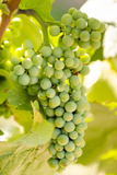 Grape Vines at Mission Hill Family Estate  Kelowna  Bc  Canada