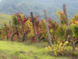Europe  Italy  Tuscany Vineyard in the Chianti Region of Tuscany