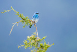 Male Mountain Bluebird in the Mission Valley  Montana  Usa