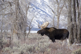 Moose in the Teton Mountains, Grand Teton NP, WYoming Papier Photo par Howie Garber