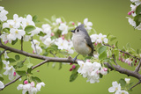 Tufted Titmouse in Crabapple Tree in Spring Marion  Illinois  Usa
