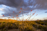 Ocotillo in Bloom at Sunrise in Big Bend National Park  Texas  Usa
