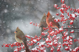 Northern Cardinals in Common Winterberry  Marion  Illinois  Usa