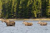 Cow Moose and Calves  Fishercap Lake  Glacier National Park  Montana