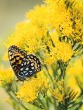 Coronis Fritillary  Nectaring on Rabbitbrush  WY