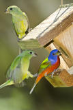 USA  Florida  Immokalee  Painted Buntings Perched on Hopper Feeder