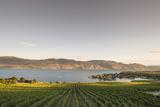 Vineyard and Okanagan Lake at Quails' Gate Winery  Kelowna  Bc  Canada
