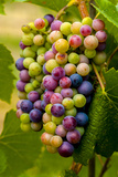 USA  Washington  Okanogan Valley Pinot Grapes in Veraison in Vineyard