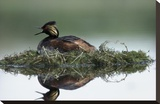Black-necked Grebe calling while incubating eggs on floating nest  North America
