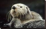 Sea Otter floating in kelp  North America