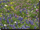 Sand Bluebonnet flowers  Hill Country  Texas