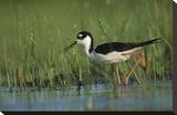 Black-necked Stilt wading through reeds  North America