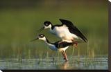 Black-necked Stilt couple mating  North America