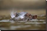 Hippopotamus breathing at water surface  Kenya
