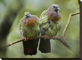 Pink-necked Green-Pigeon pair  Jurong Bird Park  Singapore