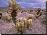 Teddy Bear Cholla cacti  Joshua Tree National Park  California