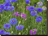 Cornflower and Pointed Phlox blooming in grassy field  North America