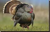 Wild Turkey male in courtship display  Palo Duro Canyon State Park  Texas