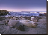 Northern Elephant Seal juveniles laying on the beach, Point Piedras Blancas, Big Sur, California Tableau sur toile par Tim Fitzharris
