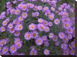 Smooth Aster plant in full summer bloom  Colorado