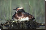 Horned Grebe parent calling while incubating eggs on floating nest  North America