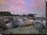 Northern Elephant Seals, Point Piedra Blancas, California Tableau sur toile par Tim Fitzharris