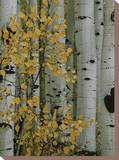 Autumn Foliage and Tree Trunks of Quaking Aspen Trees in the Crested Butte Area of Colorado