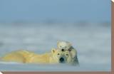 A Polar Bear Cub Finds a Peaceful Sleeping Spot On Its Mother's Head