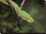 Emerald Tree Boa in tree  Costa Rica