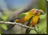 Sun Parakeet pair feeding on leaves  native to South America