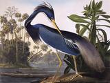 Héron de la Louisiane Giclée par John James Audubon