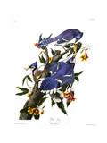 Geai bleu Giclée par John James Audubon
