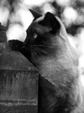 Inquisitive Siamese