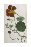 Plants  Tropaeolum Majus