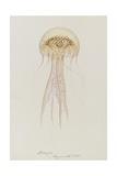 Pelagia  Weymouth  1853: Pelagia Noctiluca: Jellyfish