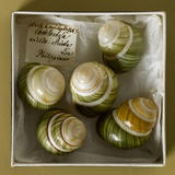 Philippine Land Snails from the Linter Collection